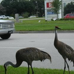 Sandhill Cranes in New Tampa