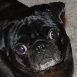 Ellie, the world's most perfect pug