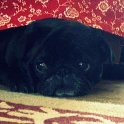 chloe. my wonderful adorable pug (: