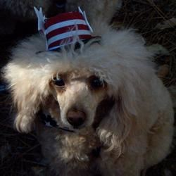 An American Poodle
