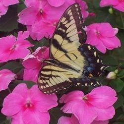 Garden Butterfly.