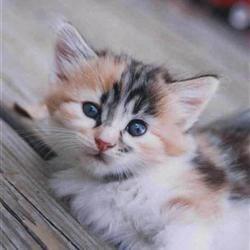 CuteCalicoCat
