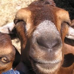 Happy goats are from Oregon