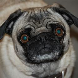 Faith the Pug