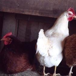 Hens in the coop.