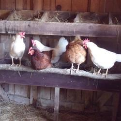 new spring chickens!