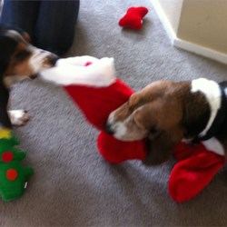 Dogs Fighting Over Stocking