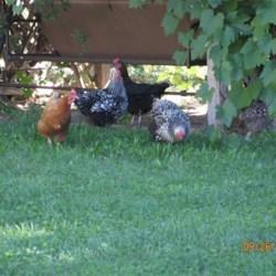 My Chicks!