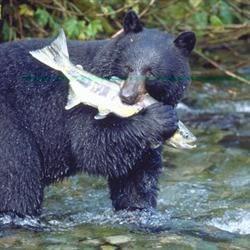 AK Bear