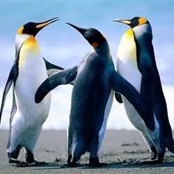 sweet pinguin