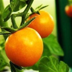 Yellow Heritage Tomato