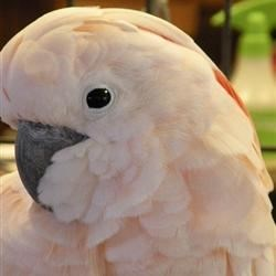 Female Moluccan Cockatoo