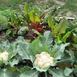 Cauliflower & Swiss Chard, Feb 2012