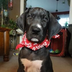 Fred - our Great Dane puppy at 8 weeks and a few days.  Big, huh?