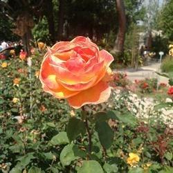 City of Hope Rose Garden