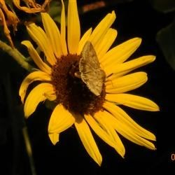 Sunflower with moth  22 Rd