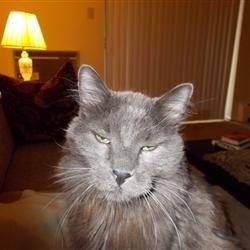 Merle Cat