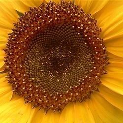 sunflower homegrown