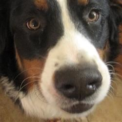 Harley My Bernese Mountain Dog