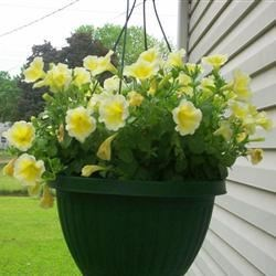 Yellow petunia basket