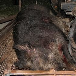 Wild boar, about 400 pounds